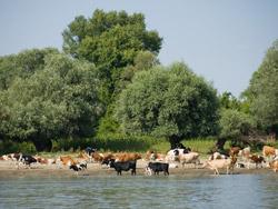 Kravice na obali Dunava